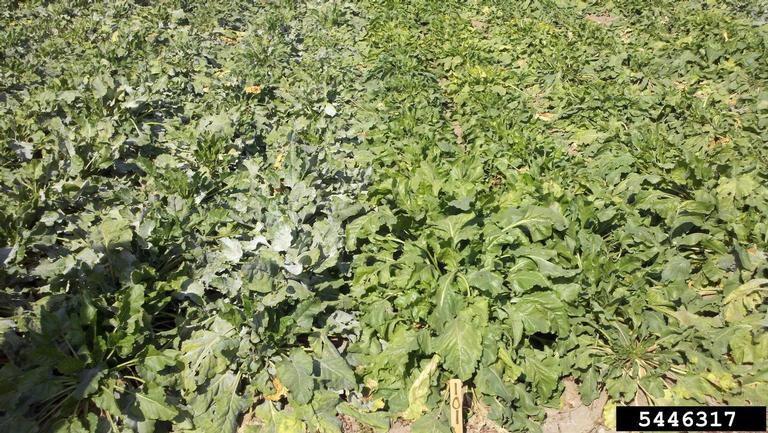 Beet Diseases And Pests Description Uses Propagation