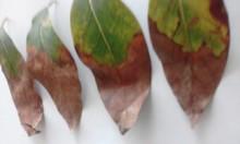 Leaves damaged by fungal attack or nutrient deficiency. (Hojas con la presencia de ataque de hongos o deficiencia nutricional)