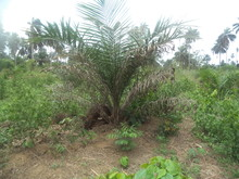 The stage at which the young oil pail tree begins to rapidly lose out the older fronds.