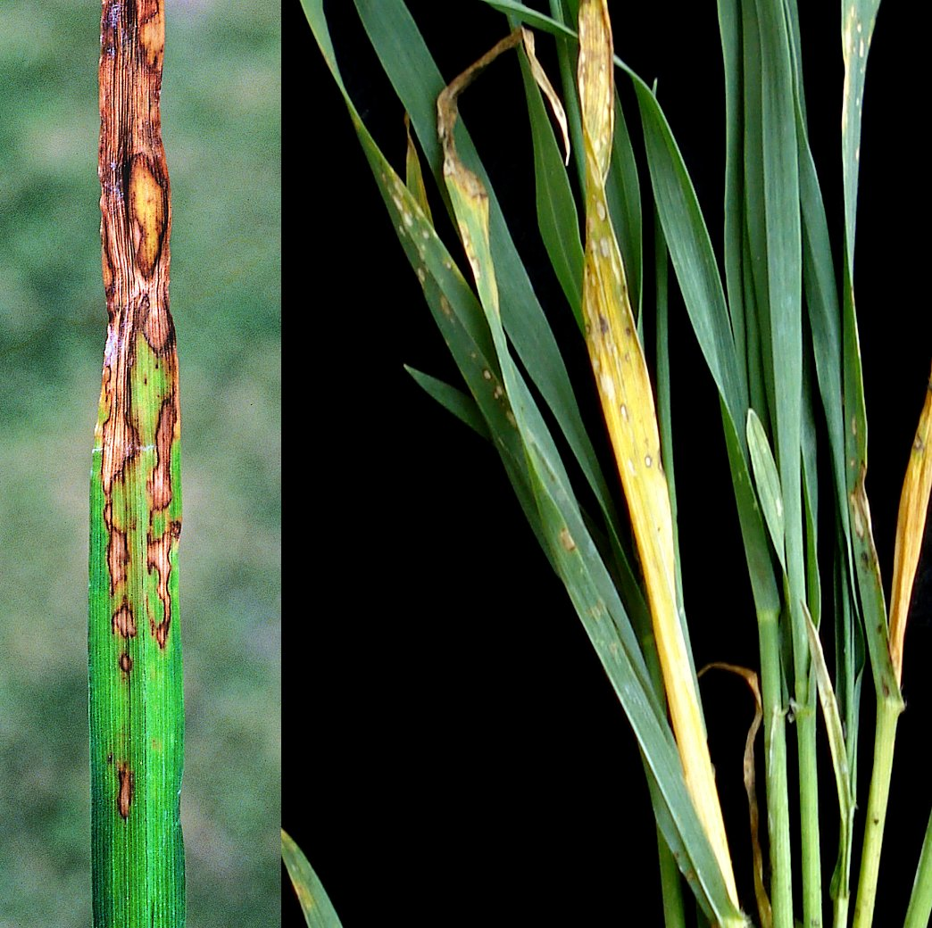 HOegrass_leaf_lesions_0.png