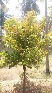 Sudden drying of nutmeg leaves.