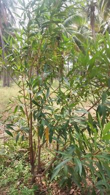Syzygium jambos(rose apple)