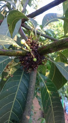 Malformation in Mango