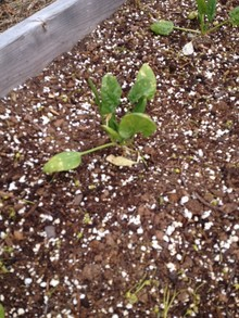 spinach from garden bed 1 planted row next to iceberg lettuce