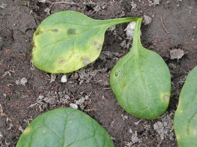 spinach-anthracnose-1L.jpg