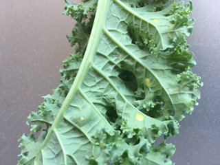 Kale leaf