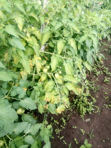 Yellowing Of tomato leaves and some leaves have necrotic areas