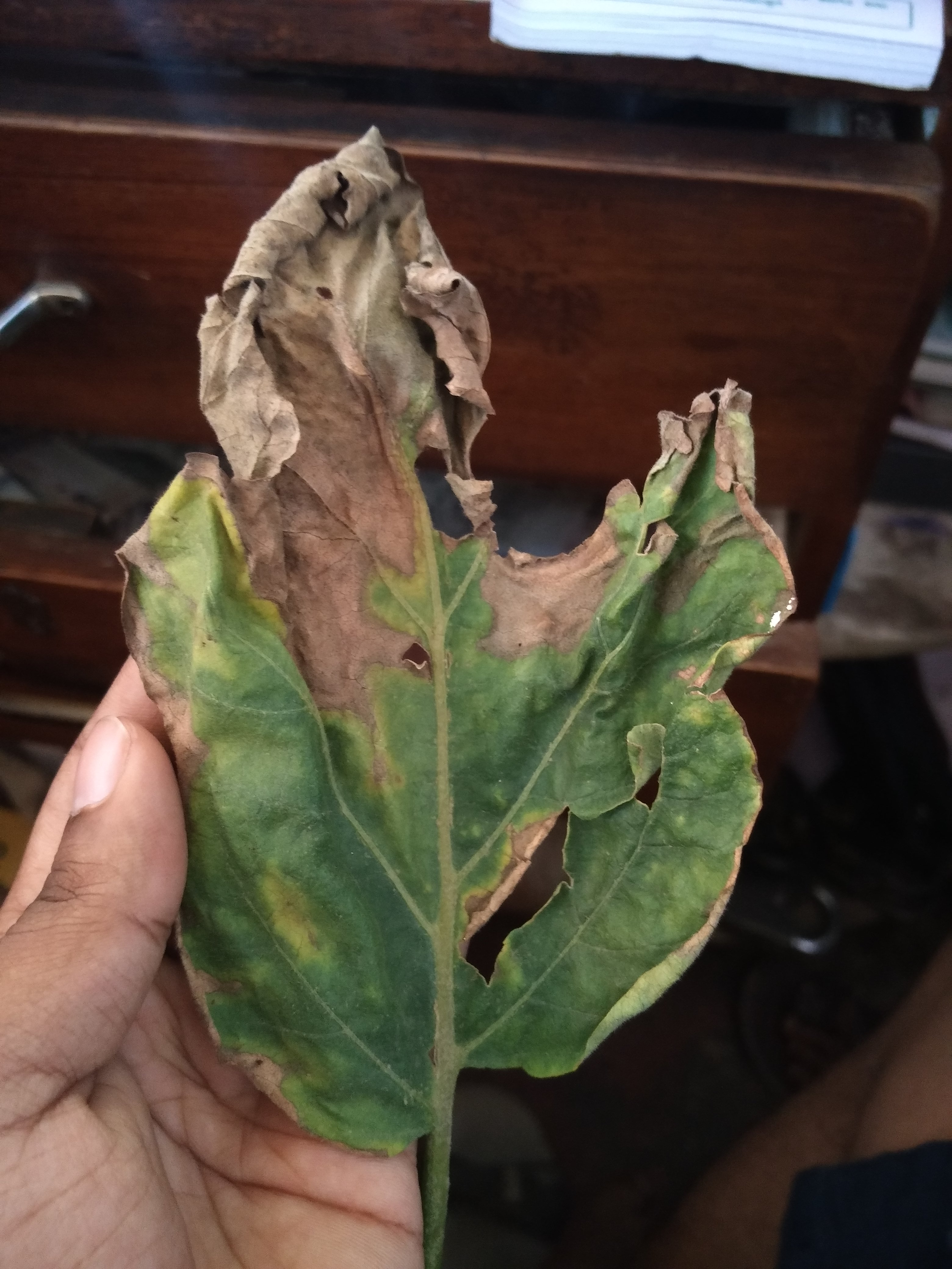 Eggplant leafs have dried as shown in the picture pls let me know what is the disease