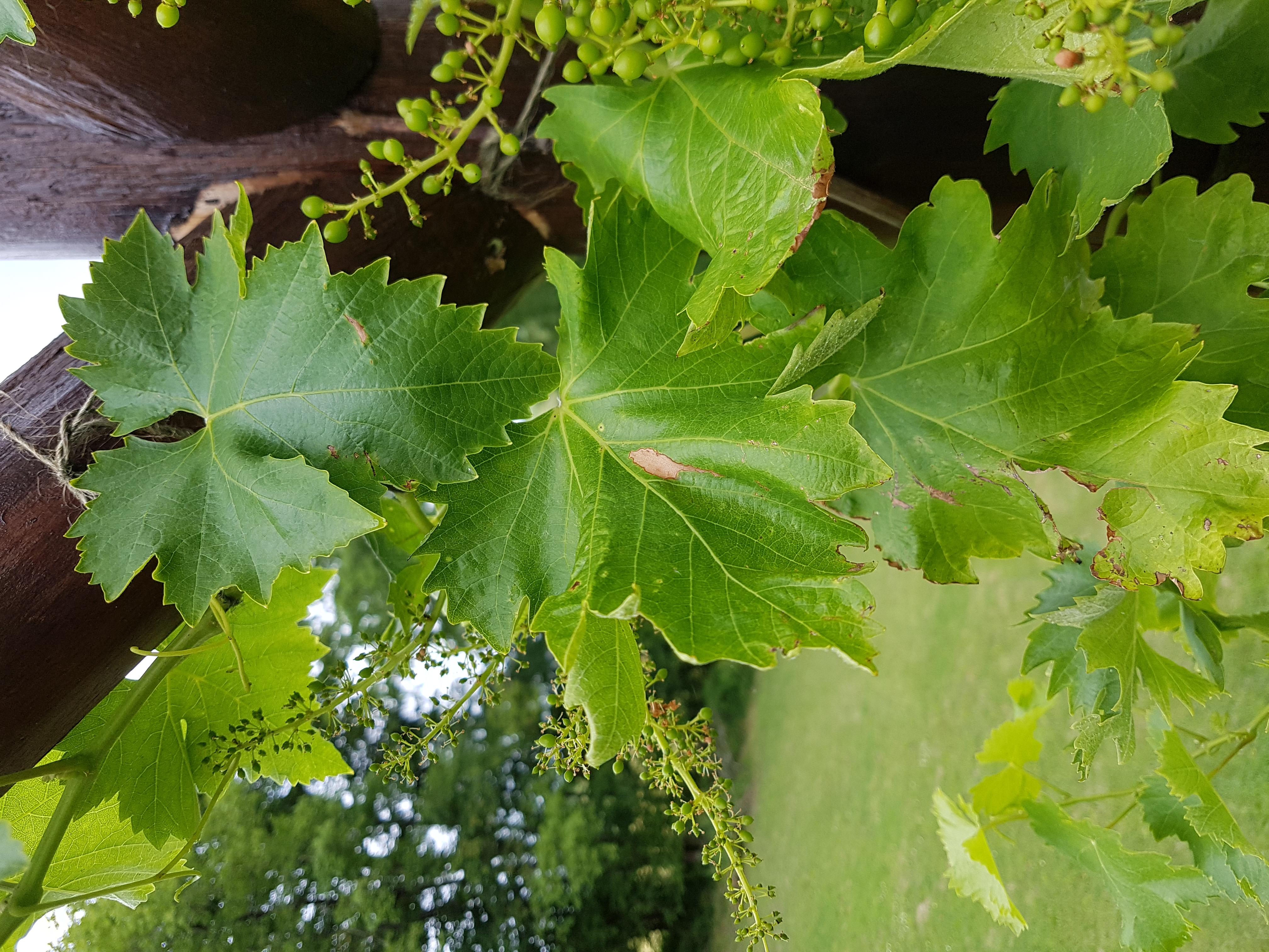 Grape_-001.jpg
