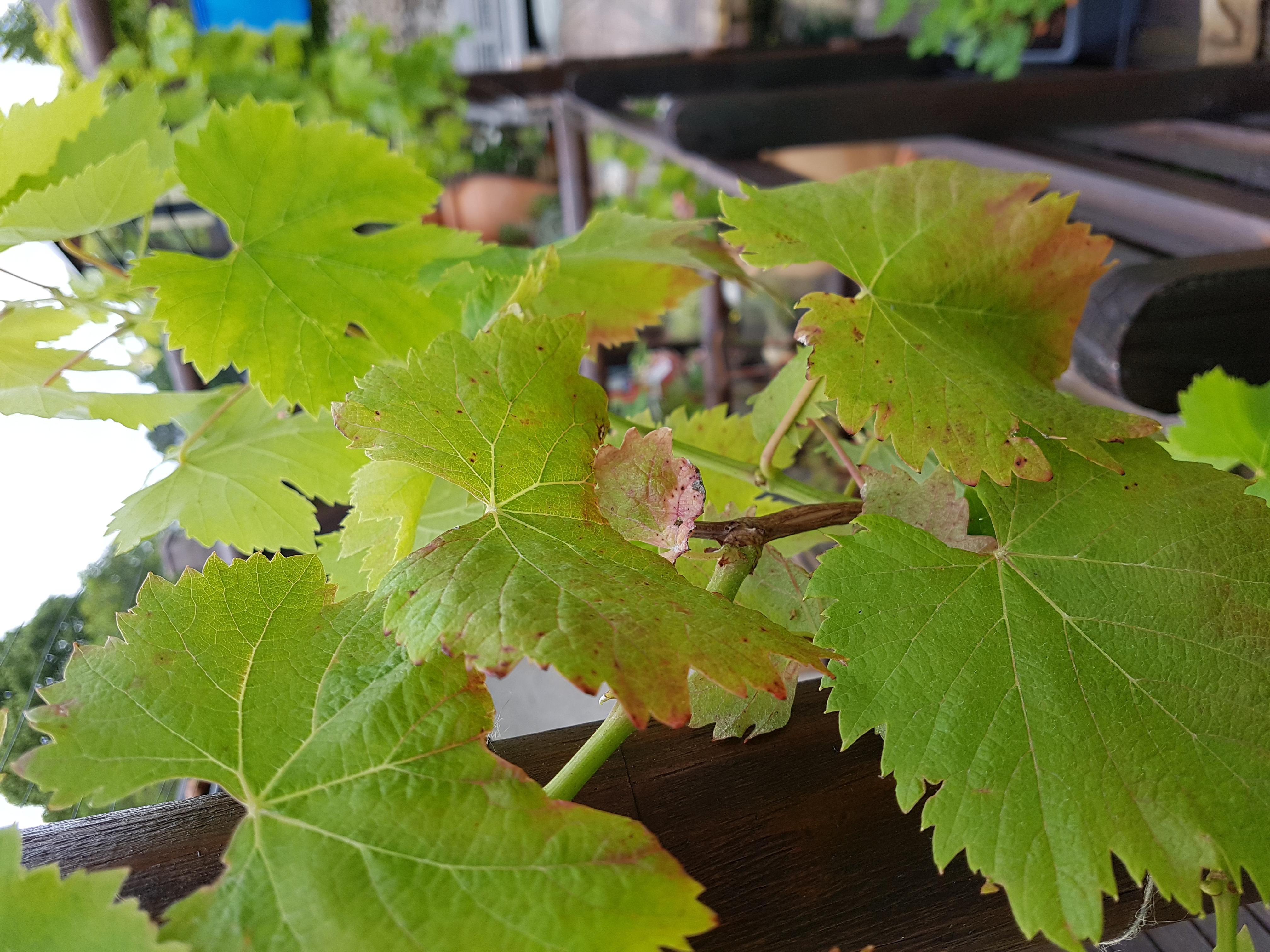Grape_-002.jpg