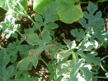 cuke plant
