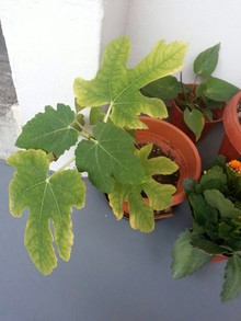 My fig plant.