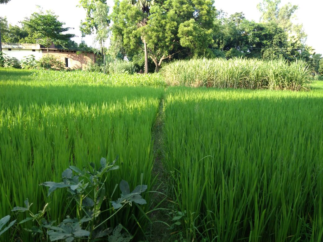 left side is organically & SRI cultivated, right side is with inorganic fertilizers.