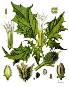 Datura_stramonium_-_Köhler–s_Medizinal-Pflanzen-051.jpg