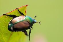 japanese-beetle-garden-pest-bug_0.jpg