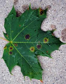 7-29-11-MARY-tar-spot-on-maple-leaf-.jpg