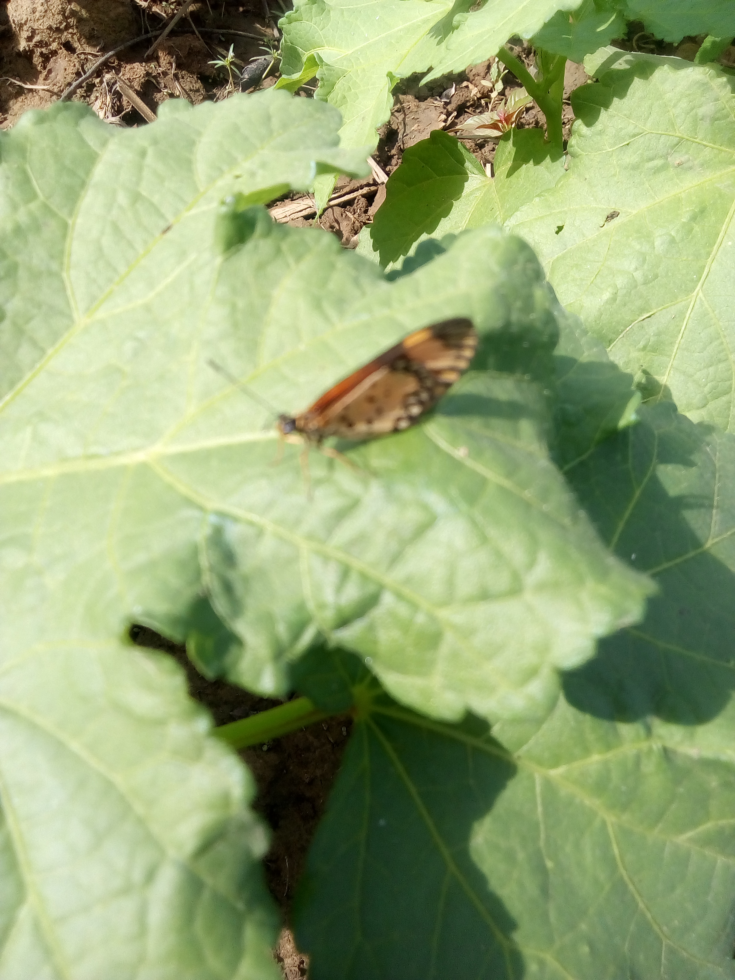 An Insect on an okra leaf