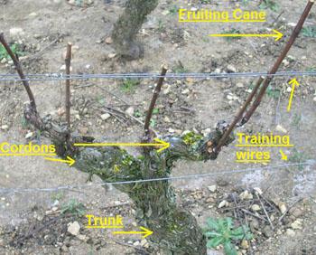 Structure_of_a_grape_vine.jpg