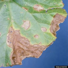 gummy-stem-blight-1.jpg