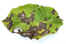 x_Alternaria_leaf.jpg