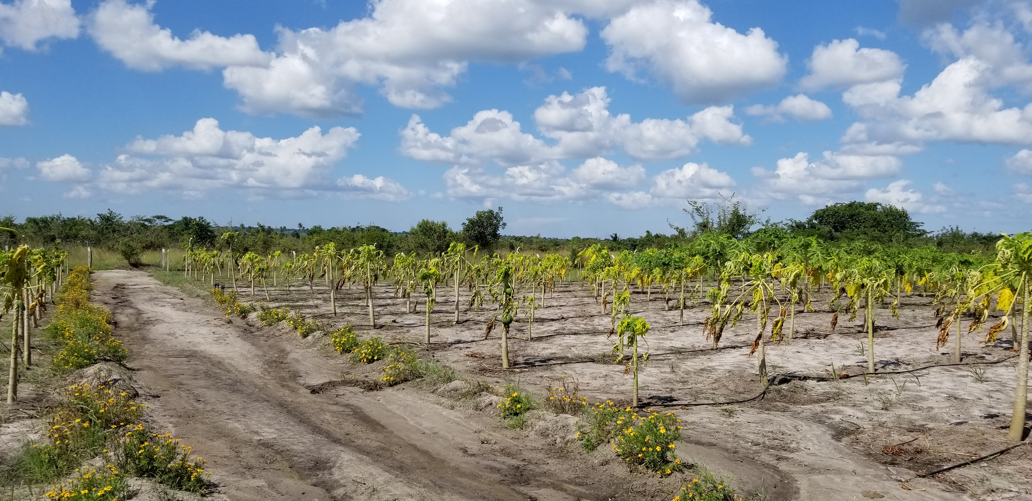 Some of the affected papaya trees.