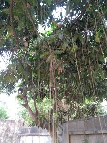 weeds hanging in the trees