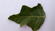 Egg plant healthy leaf