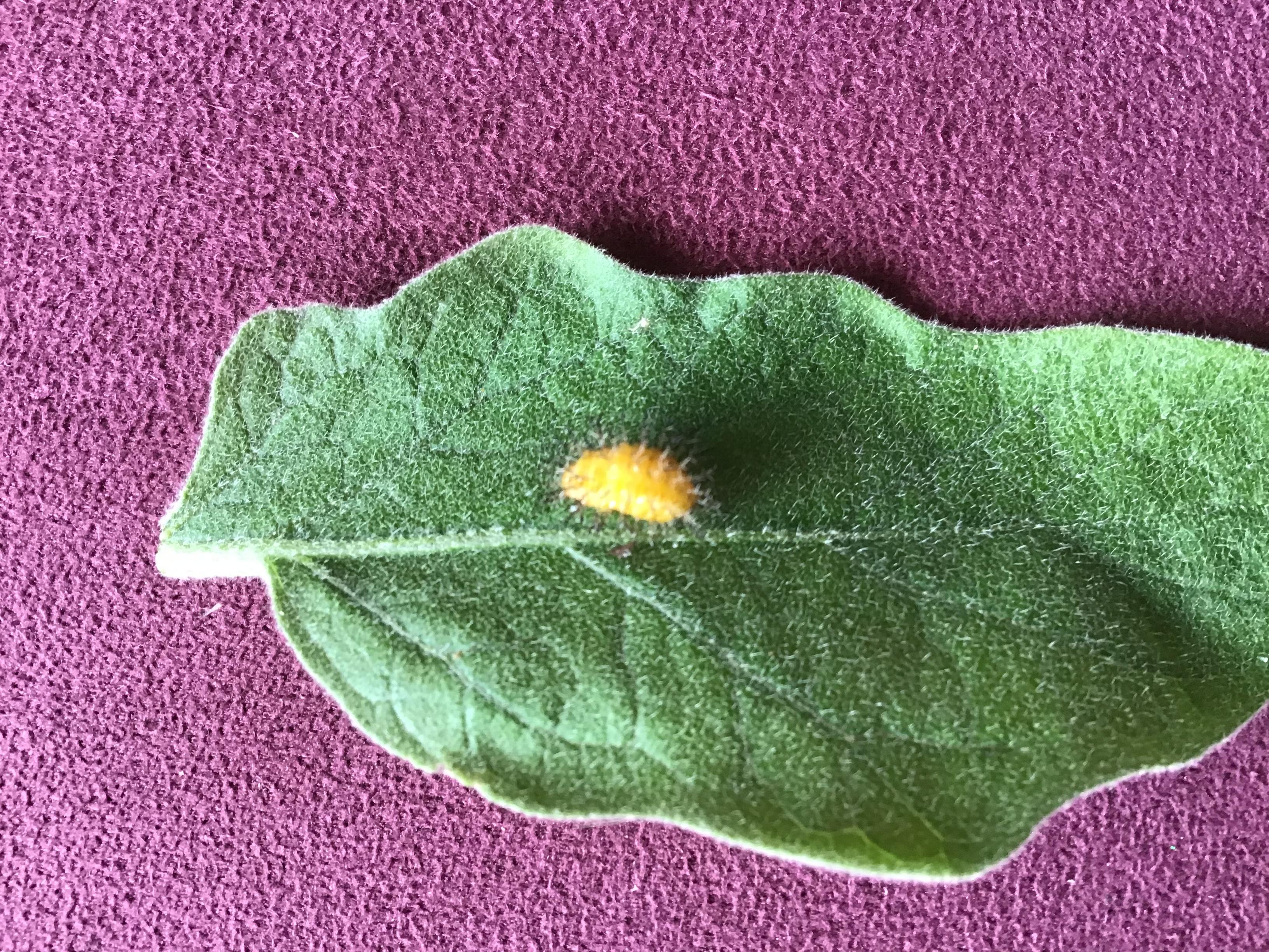 Yellow bug on eggplant