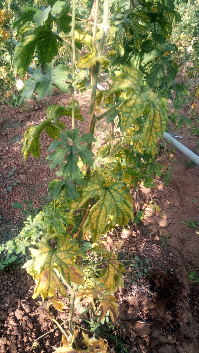 Yellowing of leaves of the same plant