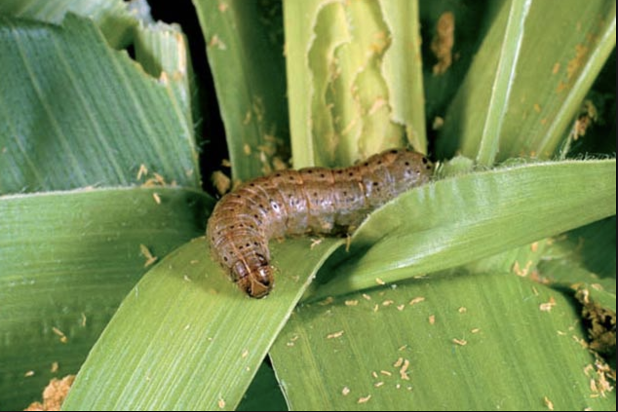 Fall armyworm Remote sensing