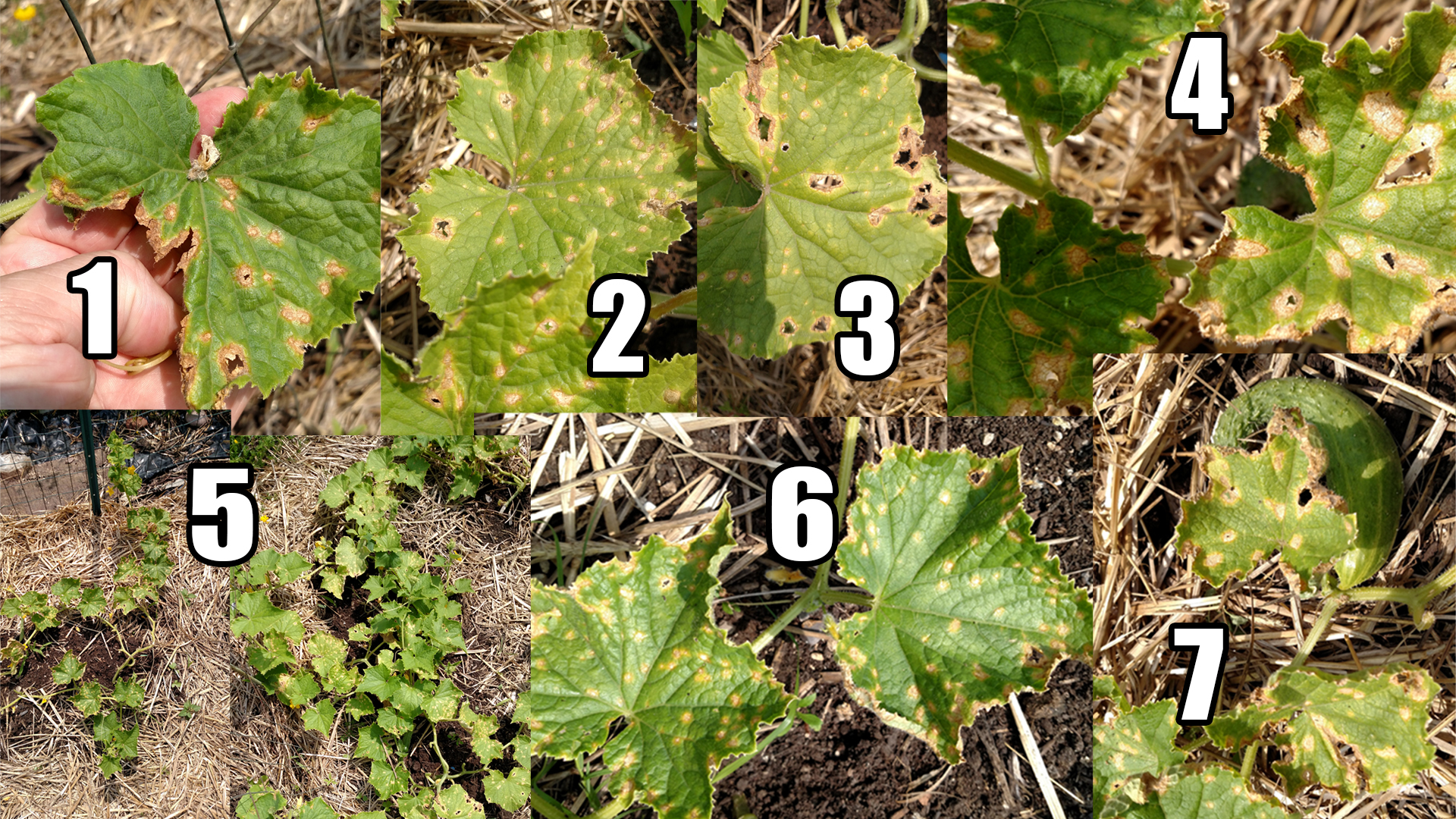 Montage of my ailing cucumber plants