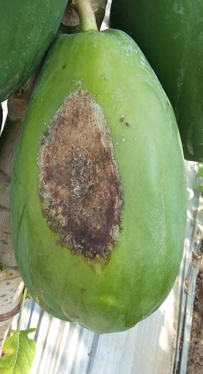 Few papayas seen have this problem. plz help how to treat.