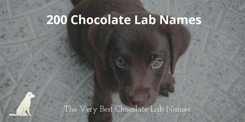 Chocolate-Lab-Name