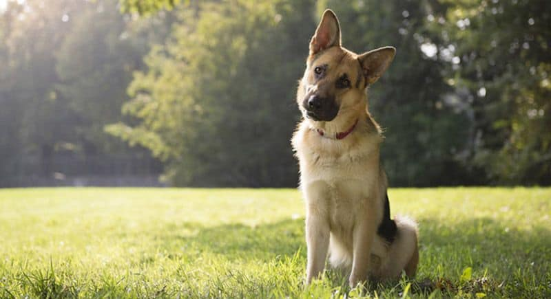 German Shepherd Shedding The Full Guide To Control Dog Shedding