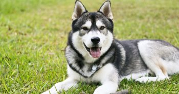Dogs That Look Like Huskies But Don T Shed