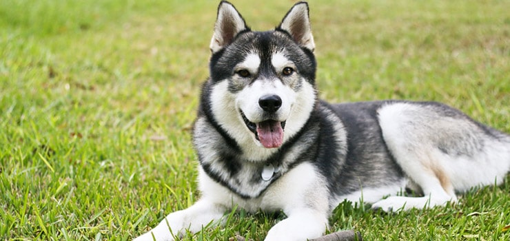 Best Brush For Huskies And How To Stop Husky Shedding
