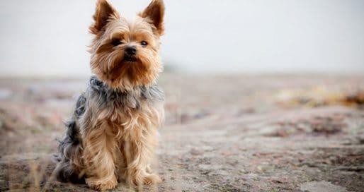 yorkshire-terrier-coat-grooming-brushing