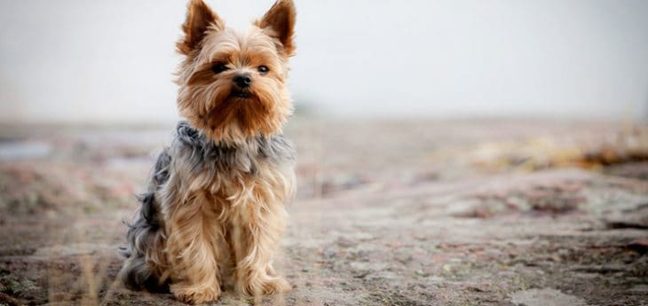 yorkshire-terrier-coat-grooming-brushing