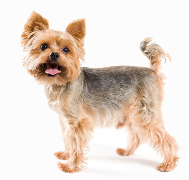 The Yorkie Coat \u2013 Facts, Care, Grooming, \u0026 Haircut Styles