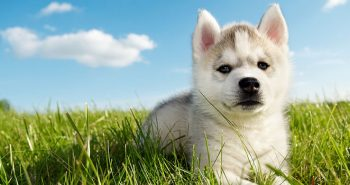 German Shepherd Shedding The Full Guide To Control Dog