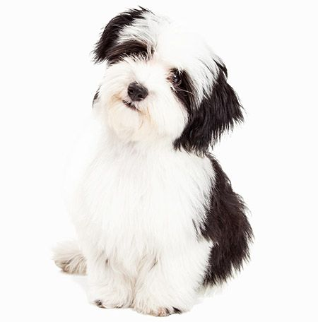 35 Dog Breeds That Don T Shed Small Medium Amp Large