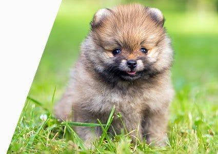 21 Dog Breeds That Look Like Bears Or Teddy Bears Playbarkrun