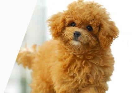 21 Dog Breeds That Look Like Bears or Teddy Bears | PlayBarkRun