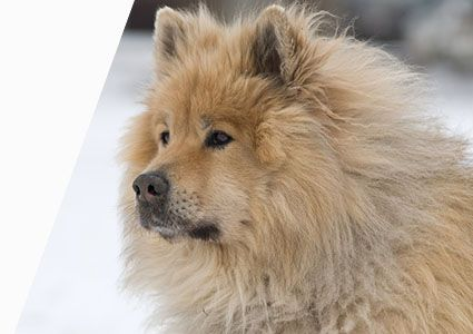 eurasier-snow