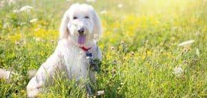 brushingpoodle