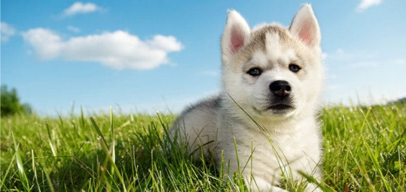 400 Cute Unique Funny Husky Names Playbarkrun