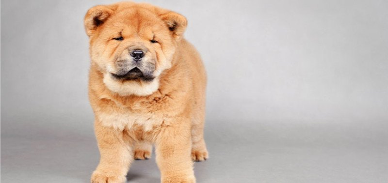 20 Dog Breeds That Look Like Bears Or Teddy Bears Playbarkrun