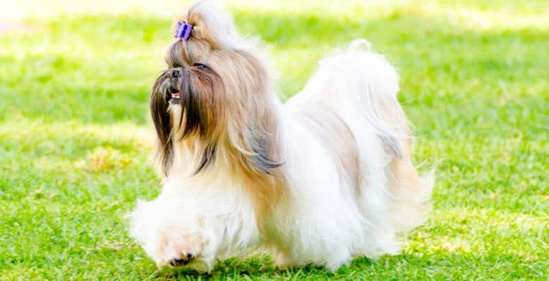 Best Brush For Shih Tzus Playbarkrun