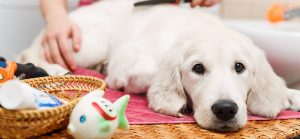 hypoallergenic-dogs