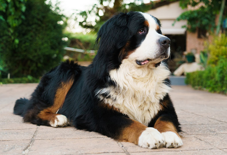 Fluffy Dog Breeds (Big and Small Breeds